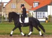 Dois magníficos cavalos frisão estão disponíveis.