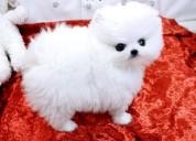 Pomeranian cachorros para um lar amoroso.