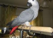 Papagaios cinzentos do gabão