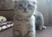Scottis fold gatinhos