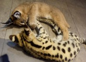 Serval, caracal & savana gatinhos para venda