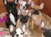 Cachorros incríveis de buldogue francês