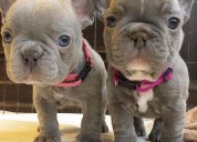 Filhotes de bulldog francês prontos