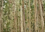 Eucaliptal 10 hectares en albergaria-a-velha