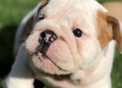Filhotes de bulldog inglês disponíveis