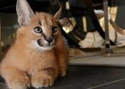 Os nossos gatinhos serval, savannah f1 e caracal e