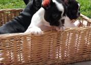 oferta filhotes de buldogue francês excelentes