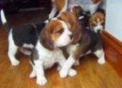 Filhotes tri beagles coloridos pronto agora