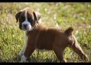 Filhotes de cachorro cute boxer