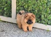 Chow chow pup para venda