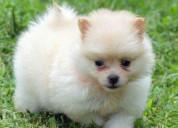 Hermosos cachorros pomeranian mini