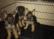 Temos filhotes de pastor alemão