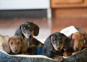 Cachorrinhos dachshund brincalhões